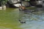 水鳥を追いかけるトラ