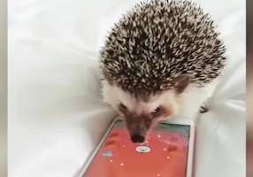スマートフォンを弄るハリネズミ