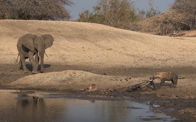 象の群れが水を飲みに来たので退散する食事中のハイエナ