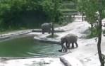 ゾウの赤ちゃんがプールに転落、2頭の大人のゾウが瞬時にレスキュー