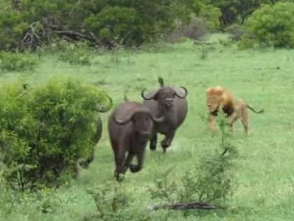 1頭の雄ライオンがバッファローの群れにアタック