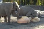 ハロウィンなので動物園のゾウに巨大カボチャプレゼント