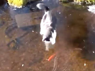 氷の下の魚を捕まえようとするニャンコ