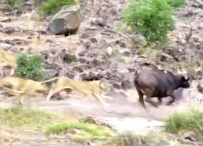 ライオンの群れが単独行動のバッファローを襲撃するが…