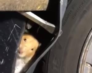 車のフェンダー内部にハムスターが隠れていた!
