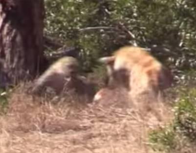 ヒョウがインパラを仕留めようとするもハイエナに妨害される