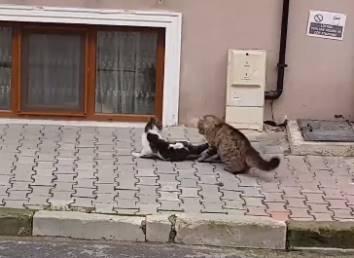 キジトラ vs. キジシロ、2匹の猫が激しいバトル