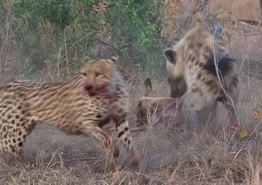 チーターが捕らえた獲物をハイエナが奪い取る