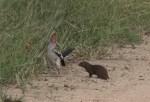 怖そうな鳥を見て死んだふりするコビトマングース