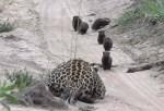 待ち構えるヒョウに接近するマングース