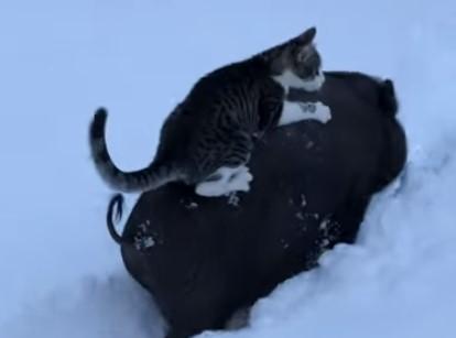深い雪の中、豚の背中に乗って移動するニャンコ