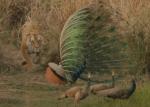 求愛中のオスのクジャクを襲撃するトラ