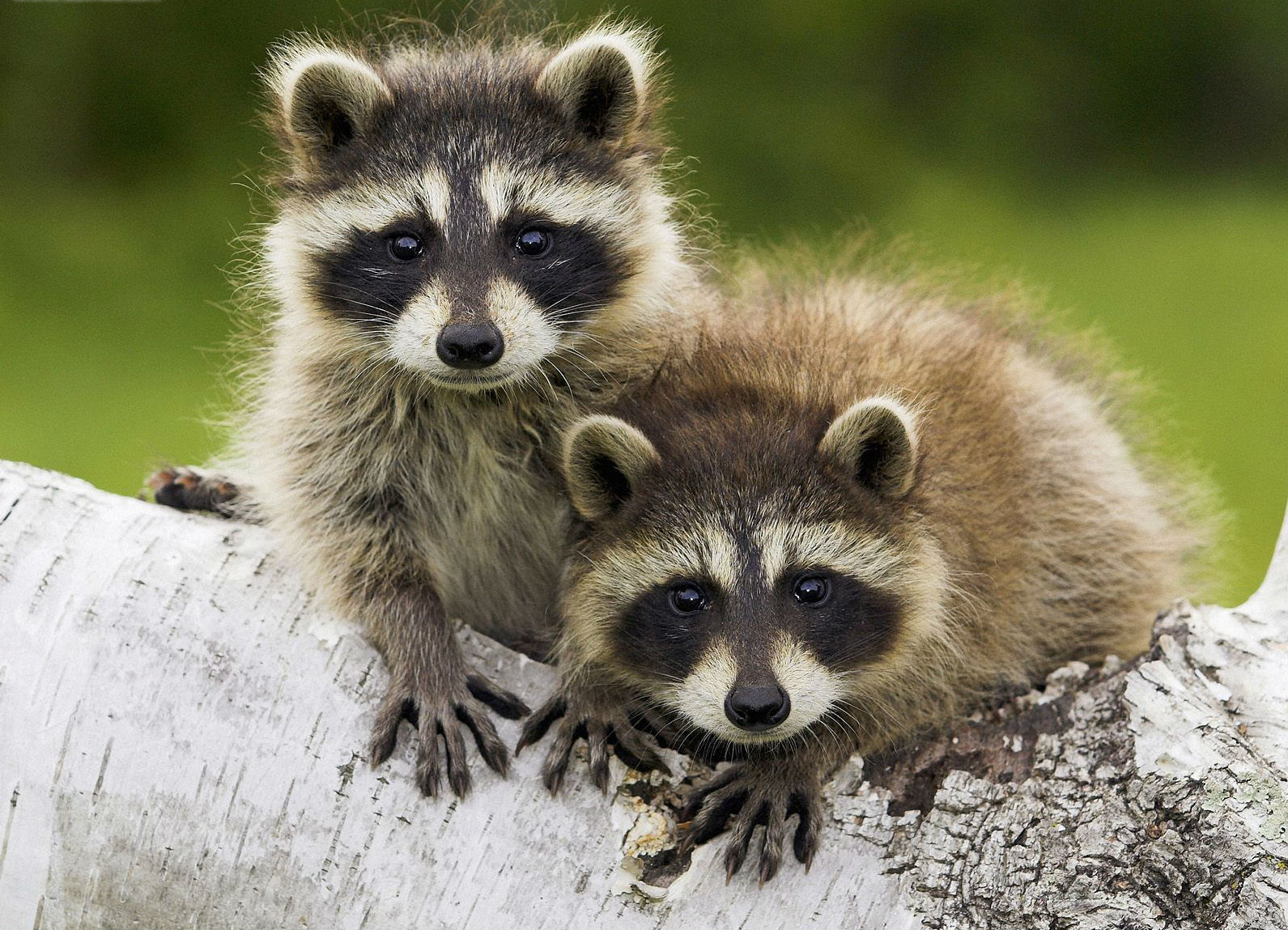 https://i1.wp.com/www.animalcapturewildlifecontrol.com/images/raccoon-babies.jpg