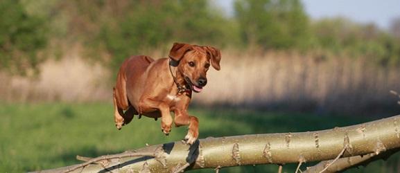 Πως να μάθετε στο σκύλο σας να πηδάει με την εντολή σας