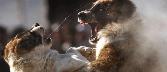 Πως να σταματήσετε ένα σκύλο που μπλέκεται σε καυγάδες