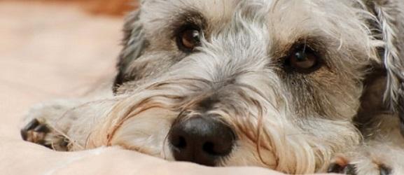 ζηλια σκυλου