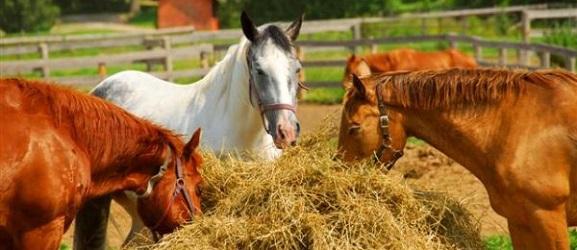 Μερικές διατροφικές συμβουλές για τα άλογα