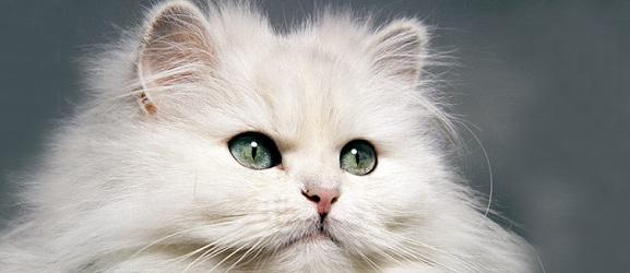 Πως να πλύνετε το κεφάλι μιας Περσικής γάτας