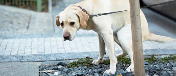 Δυσκοιλιοτητα σκυλου