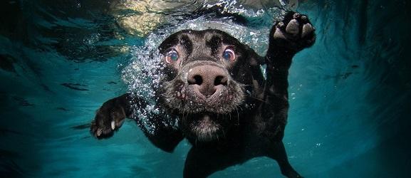 Οι 10 καλύτερες ράτσες σκύλων κολυμβητών