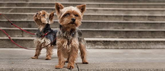 Τα 10 πιο μικρόσωμα σκυλιά