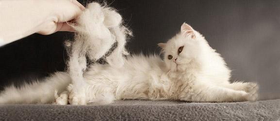 6 ράτσες γάτας που δεν μαδάνε