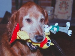 Crowdsourced pet projects are underway to find genetic links to dog behaviors. Is there a reason this golden retriever with a mouth full of toys likes to retrieve?