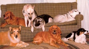 Genetic Testing for Pets can tell you which of these dogs are pure bred and what mixture of breeds make up the others. Shown are two goldens, one collie and 4 dogs of uncertain genetics