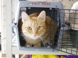 Stress free veterinary visits for your cat. Cat sitting and relaxing in a carrier with the door open.