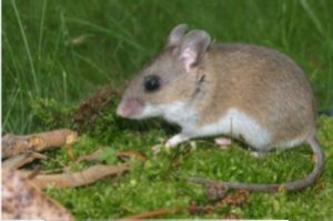 picture of a white footed mouse that is able to carry ticks and tick carried diseases