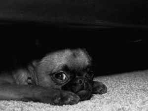 A dog hiding under the bed representing fear of thunderstorms and fireworks.