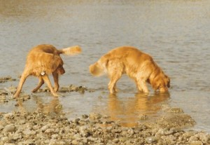 Dog tricks allow dogs to get what they want. Two goldens, one finding something interesting get the other to drop what he had and pay attention to the other dog's find