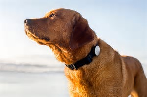 A Labrador retriever representing a pet wearing a one of the currently available wearable tech devices