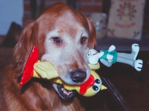With so many pet toys to chose from, how do you know which are the best for your pet? Shown is a grey faced golden retriever with a mouth full of various toys