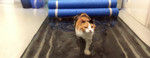 A calico cat walking on an underwater treadmill representing how animals participate in pet physical therapy