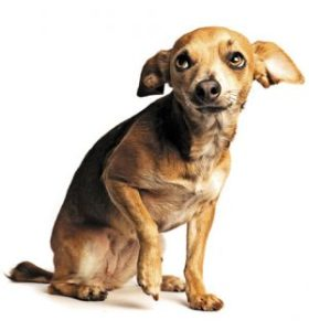 Canine body language. Chihuahua sitting with foot up and ears back showing signs of fear