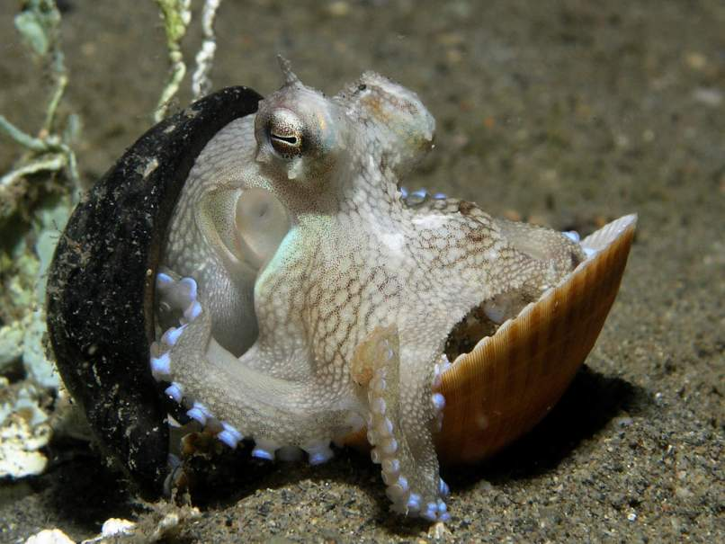 defensive tool use in octopuses