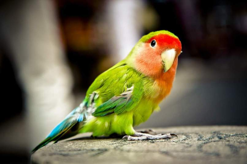 Parrots big brains