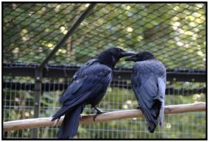 Crows Socializing, corvid intelligence