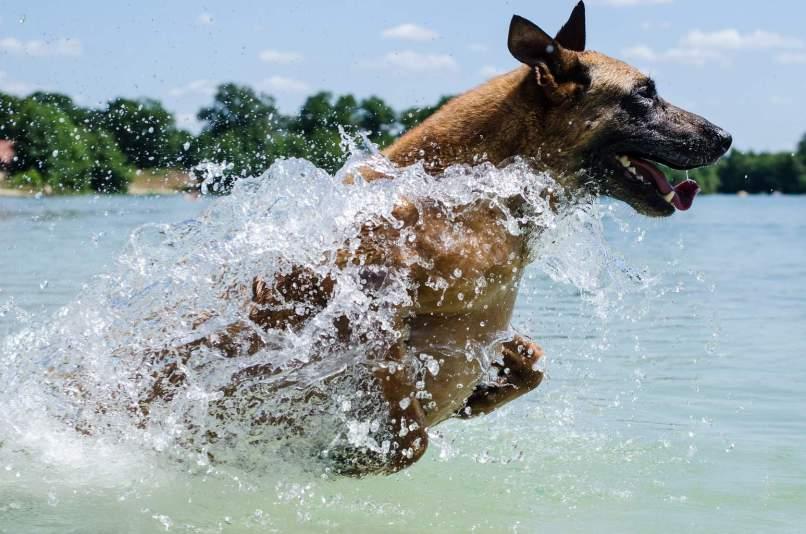 Malinois Dog Running Through Water