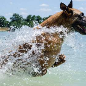 Malinois Dog Running Through Water