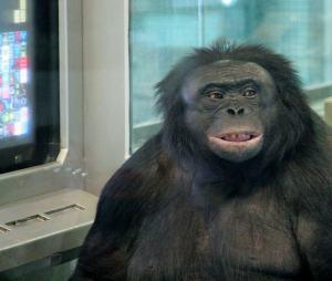 Kanzi the Bonobo