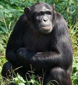 Natasha the genius chimpanzee