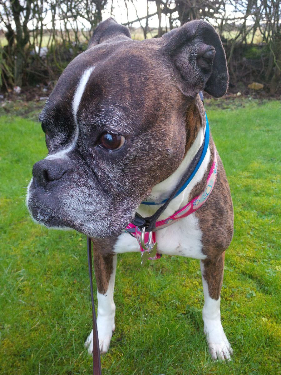 Gorgeous Missy the boxer dog is quite a senior hound but full of fun and life. We suspect she's looking forward to the warmer climate at her new Italian home.