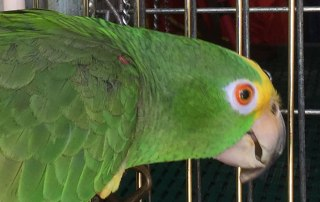 Amazing and confident Jaco, orange wing Amazon parrot