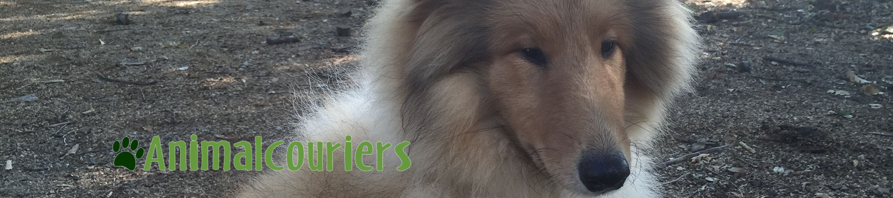 Rough Collie Animalcouriers passenger