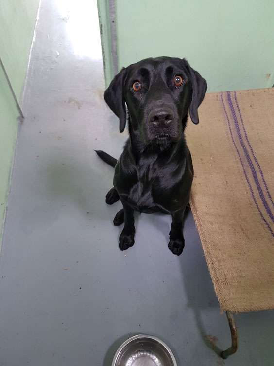 Adorable Black Labrador Laddy at Qualified Pet Services (QPS) Quarantine Kennels