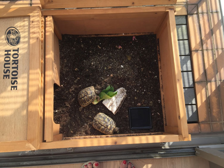 Owner Sarah arranged a splendid tortoise house on the balcony to celebrate the arrival of Henry and Orlando