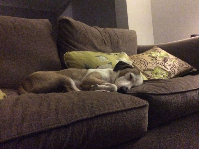 """Gorgeous Robbie from Lesvos at his new forever home in the Wirral. Owner Kate wrote to say: """"Thank you for getting Robbie to me so quickly. After a very busy day exploring the garden, going for walks and out in the car shopping, he is having a well deserved snooze on the sofa!"""""""