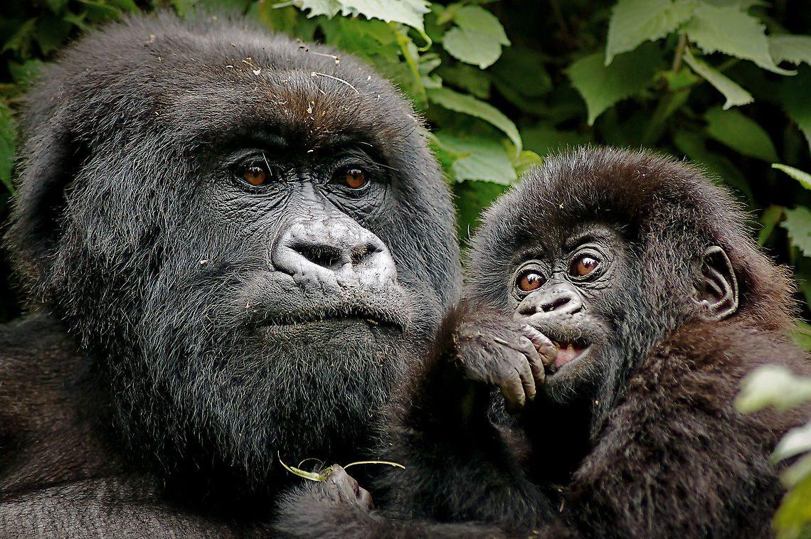 https://i1.wp.com/www.animalesextremos.com/Imagenes/gorilas-de-montana-animales-en-peligro-de-extincion.jpg?resize=1140%2C758&ssl=1